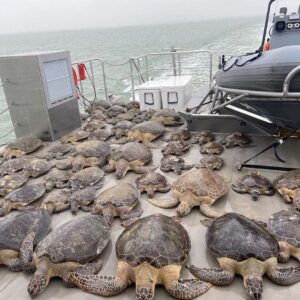 Texas Game Wardens have been rescuing sea turtles from the frigid waters & tr