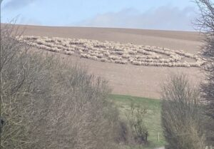 It's Happening  Mystery in Rottingdean, East Sussex as hundreds of sheep stand