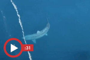 Read more about the article Giant shark in TikTok sparks 'megalodon' theory after giving tourists a scare