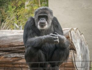 Read more about the article Cobby, Oldest Male Chimp in the U.S., Dies at 63