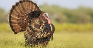 Read more about the article Turkey farmers warn that labor shortages could lead to Thanksgiving woes | Just